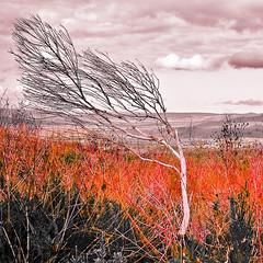 Sad Tree & Landscape crop (fIdGiTeD) Tags: sky tree nature beautiful clouds landscape southafrica crop isolation independence striking fynbos westerncape whitetree postprod mywinners treesubject bodhikhaya