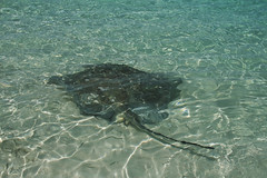 Stingray (craigmdennis) Tags: sea holiday water stingray bahamas exuma chatnchill