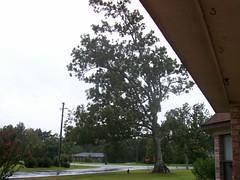 Pecan tree awaiting the storm