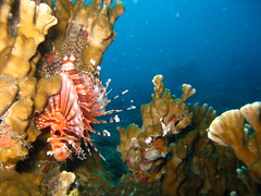 Zebra Lionfish galore too; 3 this weekend