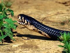 Indian Snake (Sachin Tomar's) Tags: snakesofindia indiansnakesindiansnakes typesofindiansnakes snakeinindia