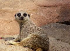 Meerly Watching (left wing lucy) Tags: meerkat wichita sedgwickcountyzoo