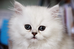 The blue eyes (jmvnoos in Paris) Tags: pet white paris france cat persian eyes nikon chat pussy kitty yeux chinchilla 100views 400views 300views 200views 500views blanc soe 800views 600views 700views 1000views chaton d300 persan 30faves 900views 10faves views200 20faves 40faves 35faves 100comments cc200 cc100 golddragon abigfave platinumphoto 50comments theunforgettablepictures overtheexcellence jmvnoos 10favesext 20favesext vosplusbellesphotos selectedbygettyimages