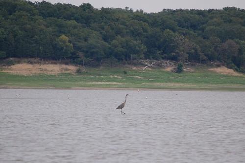 Blue Heron at Saylorville Lake