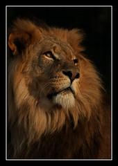 King of the Jungle (felt_tip_felon) Tags: portrait nature nose eyes wildlife lion best bigcat mane blueribbonwinner whf