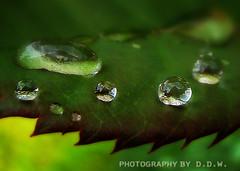 PL0225 (Dee D.W.) Tags: green water leaf drops fave