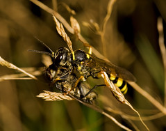 """Female Solitary wasp ( Mellinus arven(2) • <a style=""""font-size:0.8em;"""" href=""""http://www.flickr.com/photos/57024565@N00/2862676523/"""" target=""""_blank"""">View on Flickr</a>"""