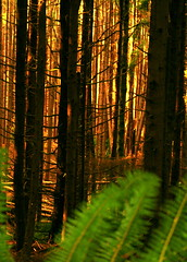 Summer Fun:Fort to Sea Trail (jkeenan501) Tags: trees sea sun fern forest morninglight woods fort trail ferns shining goldenlight barrentrees inoregon forttoseatrail lightthroughthewoods treesoforegon forestsoforegon