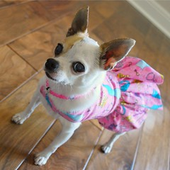 (Aesthete1) Tags: pink party dog white chihuahua silly cute girl necklace funny pretty dress blind clothes frock