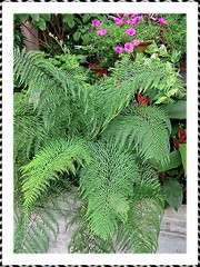 Pityrogramma calomelanos (Dixie Silverback Fern, Silver Fern) in our garden bed, June 2008