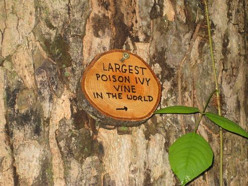 large poison ivy vine. World Larget Poison Ivy Vine