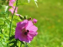Last one this year... (jensen.pernille) Tags: pink denmark weed wildflower danmark naturesfinest artisticexpression languageofflowers platinumphoto dragongoldaward damniwishidtakenthat pernillejensen