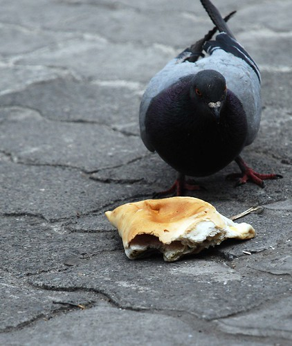 pigeons will eat what they can find
