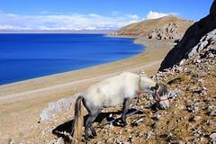 Nam (Namtso Chumo) tso (reurinkjan) Tags: horse nature tibet namtso 2008 changtang namtsochukmo nyenchentanglha tibetanlandscape tengrinor janreurink damshungcounty damgzung