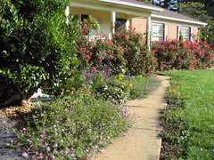 knockout roses and perennials