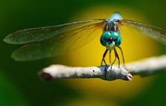 Dragonfly - Agent 007.... (moczko) Tags: blue macro yellow wings branch dragonfly naturesfinest citritgroup alemdagqualityonlyclub alemdaggoldenaward exploreoct2508