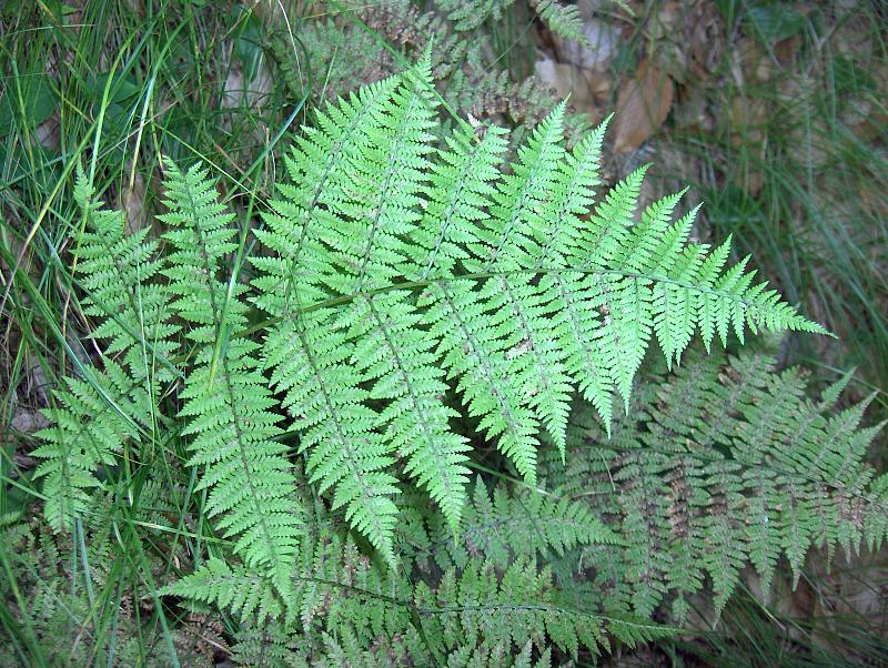 Photo: athyrium