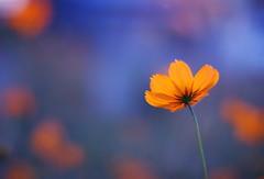 (cocoaloco) Tags: flower digital 50mm nikon f14 nikkor cosmos d80