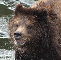 Grizzly close up, Ak (moelynphotos) Tags: bear wild nature animal animals alaska mammal wildlife grizzly brownbear grizzlybear supershot naturescreations grizzlyinwater moelynphotos planetearthanimalsbirds rainbowelite sunrays5