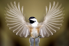 Chickadee Wings Spread (Vermont Lenses) Tags: autumn black bird fall wings vermont chickadee cedar capped soe breathtaking supreme specanimal golddragon mywinners specanimalphotooftheday avianexcellence theunforgettablepictures theunforgettablepicture platinumheartaward proudshopper photoshopcreativo breathtakinggoldaward 100commentgroup alittlebeauty hairygitselite