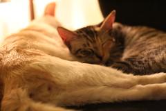 IMG_2899 (portmanteaus) Tags: cats kittens guillaume scylla