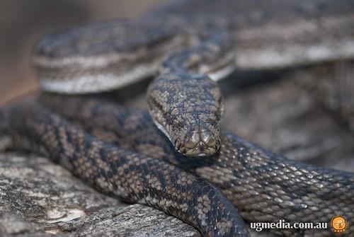 South-western carpet python (Morelia spilota imbricata)