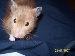 100_0722 (lfcgirl) Tags: hamsters