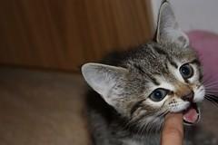 Killing my finger (saralif) Tags: cute kitten little sweet killing finger my flickrlovers