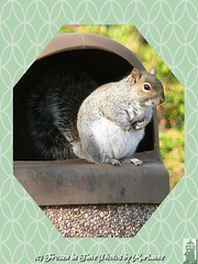 P2160719+1 THINK I ATE TO MUCH... OR SOMETHING WAS SPOILED THAT UPSET MY BELLY.... HAVE ANY PEPTO BISMOL??? (Frozen in Time photos by Marianne AWAY OFF/ON) Tags: nature squirrel squirrels wildlife critters veteranspark sciuruscarolinensis easterngreysquirrel framedphotos hamiltonveteranspark nationalgeographicwannabes photowatermarkframes nationalgeographiswannabes