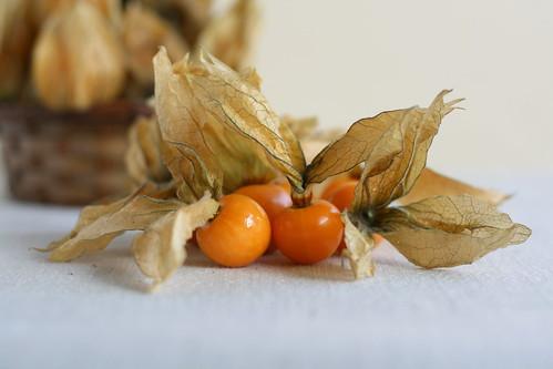 Alchechengi or Physalis longifolia