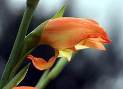 histoire d'orange #5 (xeno(x)) Tags: flower color macro art nature canon garden asia explore zen 2008 xeno 40d overtheexcellence