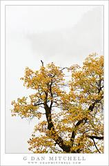 Oak Branches and Rain, Yosemite Valley (G Dan Mitchell) Tags: california travel autumn cliff usa cloud mist mountain tree fall nature
