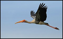 Painted Stork (Mycteria leucocephala) flying high in Sultanpur Bird Sanctuary (Saran Vaid) Tags: wild india nature beautiful beauty birds fauna canon fly flying inflight wings asia action bokeh painted wildlife birding flight wing beak feathers feather sigma waterbird aves safari elegant animalplanet sanctuary quill stork spotting bornfree birdsanctuary sighting haryana wingtips quills paintedstork sultanpur blueribbonwinner mycterialeucocephala specanimal mywinners abigfave canoneos400d sultanpurbirdsanctuary avianexcellence sultanpurnationalpark goldstaraward sigma150500mm thewonderfulworldofbirds slbflying sigma150500mmf563dgoshsm