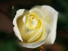 rose (goodcryst) Tags: white rose soe masterphotos shieldofexcellence macroflowerlovers awesomeblossoms artofimages