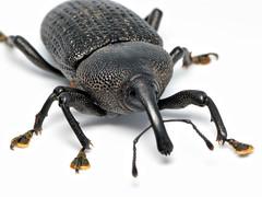 Homalinotus coriaceus (Techuser) Tags: animal bug insect coconut beetle weevil curculionidae raynoxdcr250 macrophotosnolimits canons5is homalinotuscoriaceus