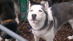 Malamut/ huskies 017a (gutenblerg2) Tags: blue iris dog snow eye woof bike hair team canine huskies american bark sledge reins malamut