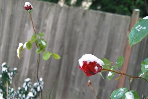1 - Snow Rose