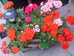 Geraniums in my stone trough.