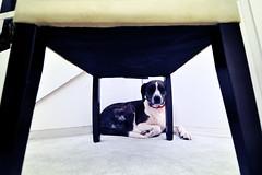 140:365 superstition && fear = cute (bqdockey) Tags: dog pet america chair nikon fear sunday tokina depression lightning biteme thunder petportrait d90 1116mm tokina1116mmf28