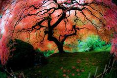 tumblr_ln7hyqECcK1qdujuvo1_500_large (vincentflores) Tags: fall colors oregon garden portland fisheye foliage handheld portlandjapanesegarden thattree 105mmfisheyelens webfriendly d300s laceleafmaples