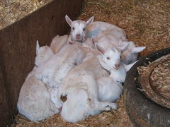 A Pile of Goats