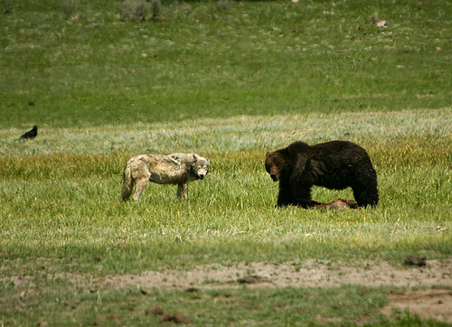 Grizzly & wolf