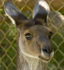 Nice face, pity about the fence (Nikonsnapper) Tags: park kangaroo brighteyes wirefence cavershamwildlifepark australia2008 nikonsnapper