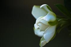 gardenia (levay) Tags: white flower nature contrast outside gardenia flickrchallengegroup