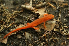 Red-spotted Newt (hgrimes) Tags: nature hiking massachusetts newengland waterfalls lee rivers streams geology amphibians gorges newt eft newts redspottednewt redeft easternnewt octobermountain octobermountainstateforest