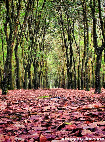 HDR shot of a rubber plantation