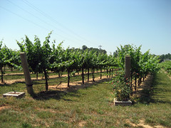 vineyard view at buck shoals winery