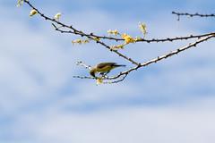Yellow-bellied Sunbird (Duncan Fawkes) Tags: africa bird kilimanjaro tanzania honeymoon safari sunbird yellowbelliedsunbird kambiyatembo