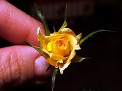 Miniature Rosebud