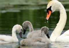 My Swan Family